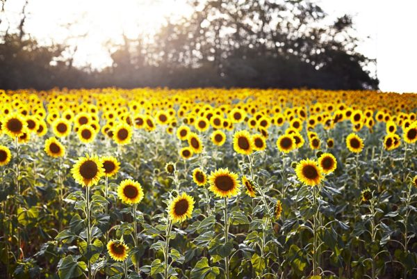A landscape of a field of sunflowers